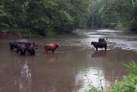 2005-12-19-cattleStream