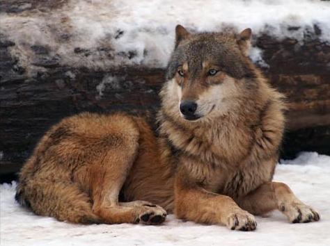 beautiful-wolf-4.jpg