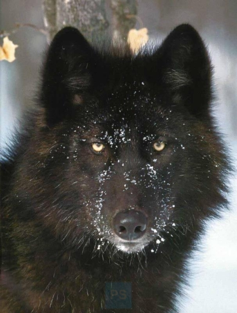 black wolf beautiful
