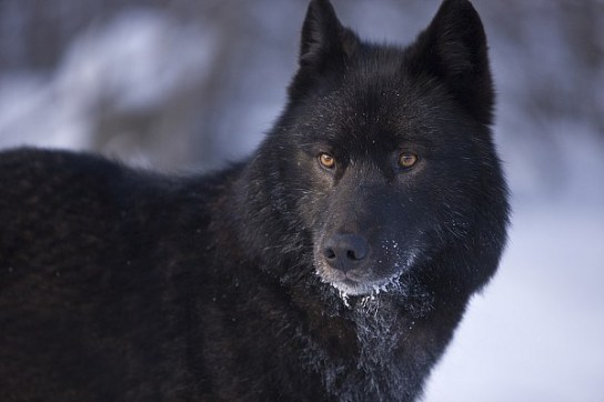 black-wolf-dominant retriever man dot com jpg