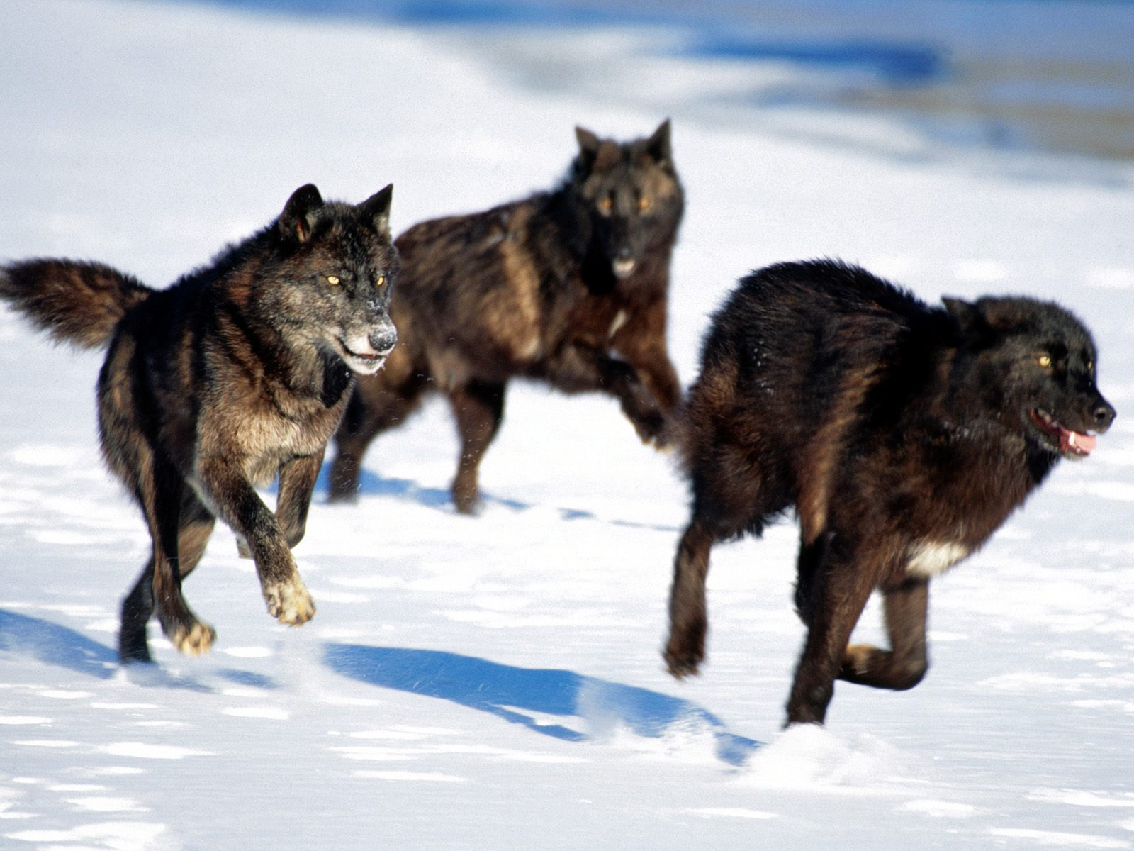 Gray wolf pack howling - photo#13