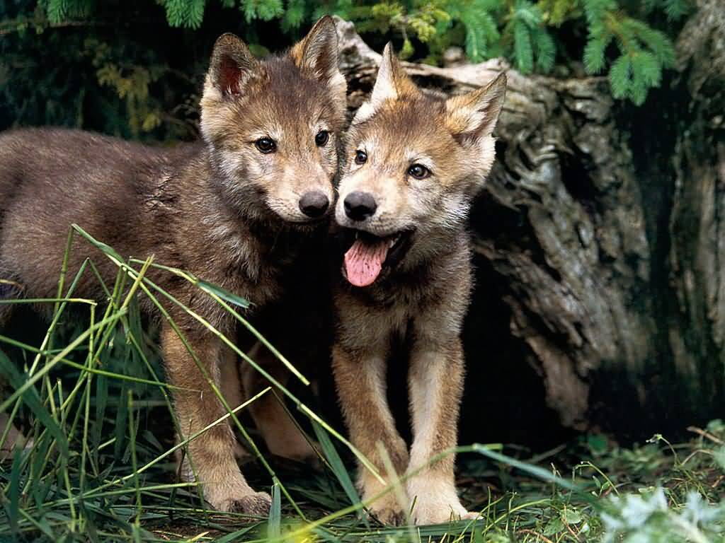 Yellowstone wolf pups low survival rate linked to canine distemper