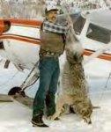 alaskan wolf shot by aerialgunner