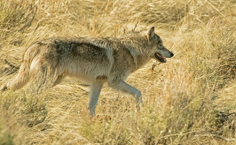 backcountry wolf