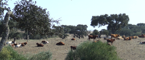 cattle grazing...wikimedia commons