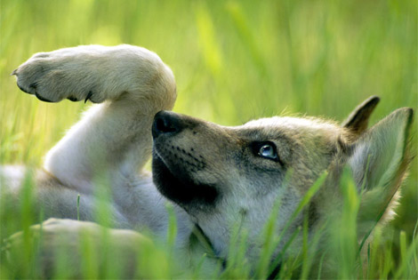 Wolves under fire howling for justice page 2 mexican gray wolf 4 publicscrutiny Images
