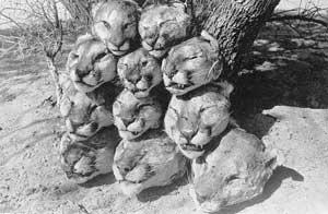 mountain lions killed