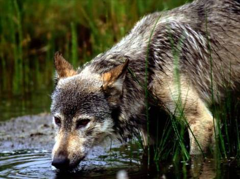 Wolves under fire howling for justice page 2 wolf drinking publicscrutiny Images