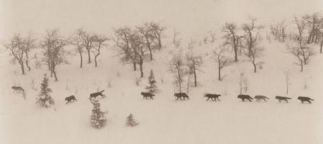 wolf pack in winter