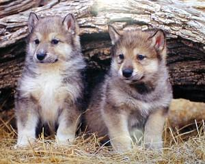 wolf pups 2