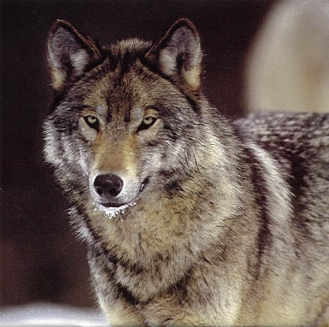 Wolves under fire howling for justice page 2 she traveled through five states her gps collar registering 1000 miles this young mill creek pack wolf left her montana home in september 08 and arrived publicscrutiny Image collections