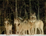 Wolf%20pack