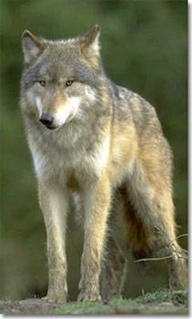 wolf_main