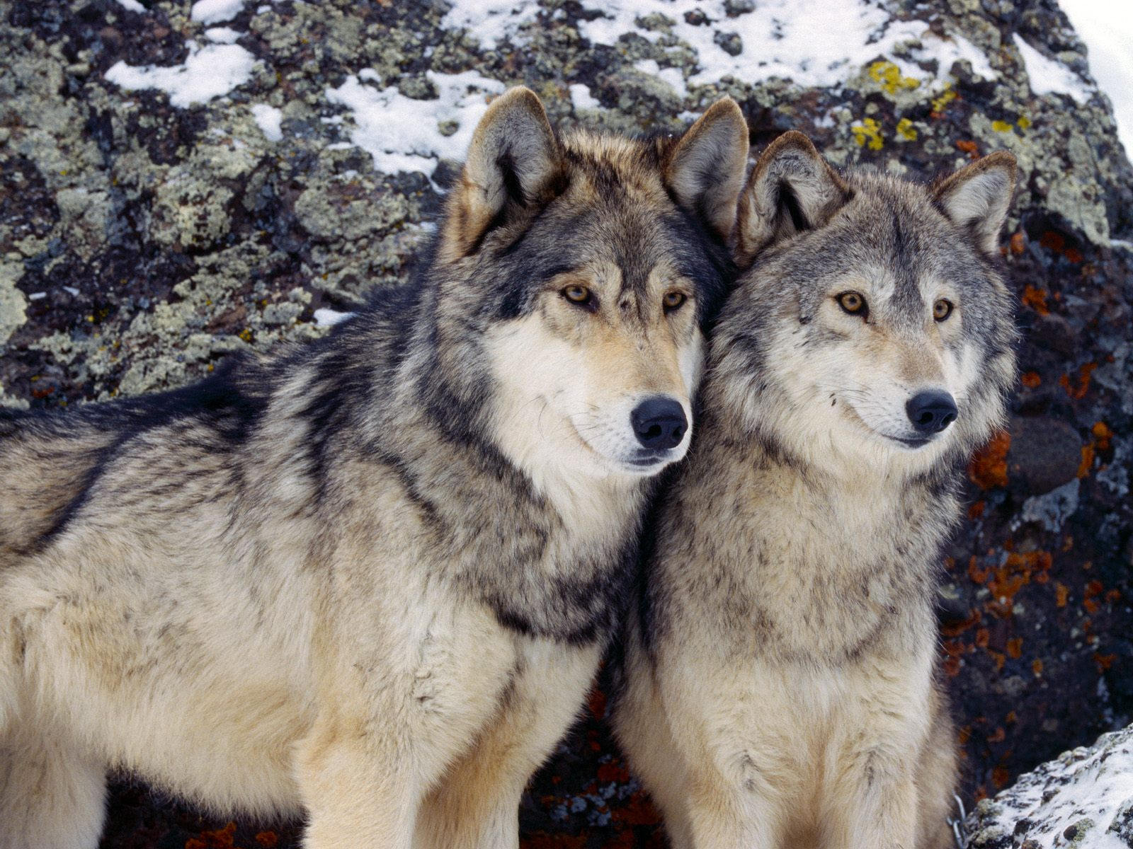The hog heaven pack was special one of the largest wolf packs ever