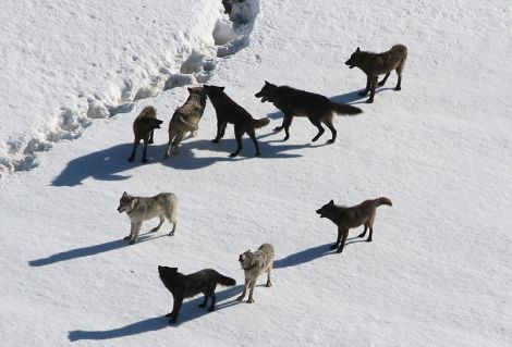 Yellowstone_Wolves