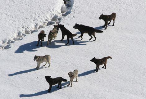Yellowstone_Wolves