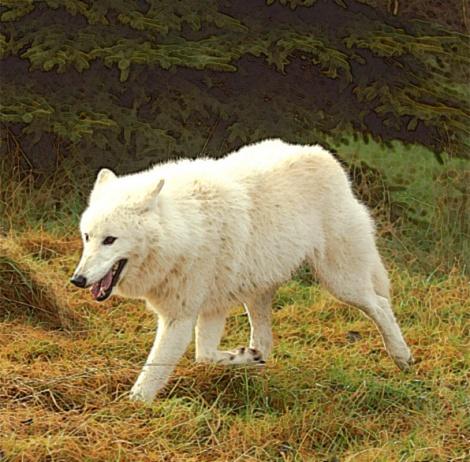 articwolf1-1