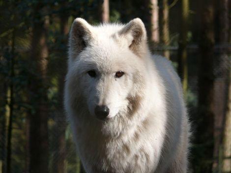 beautiful canis lupus arctos