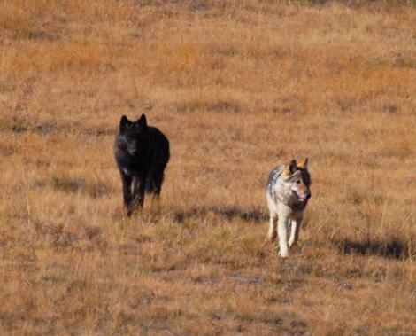 hayden pack wolves
