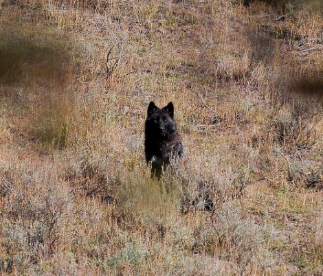 Yellowstone Hayden Valley Pack Member