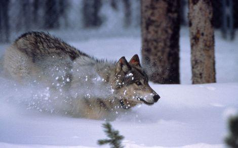 yellowstone wolf runnintg