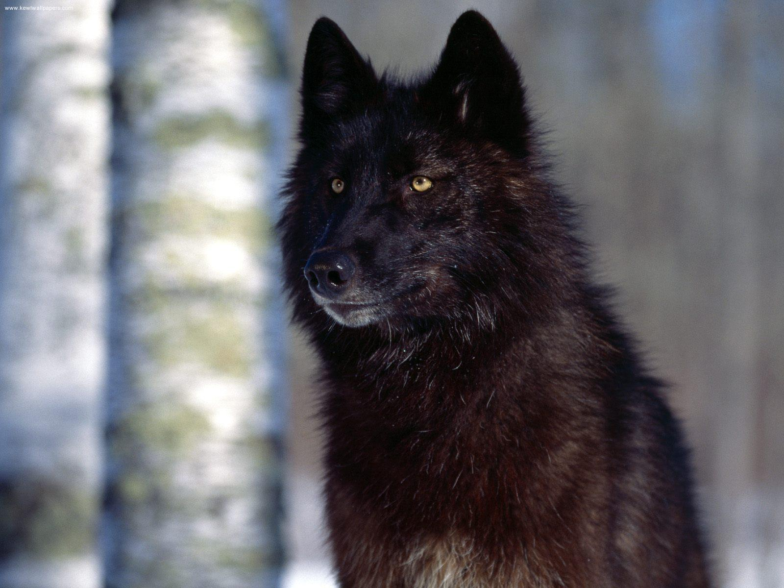 Kodi's Bios Black-wolf