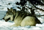 Canis_lupus_in_snow_with_radio_collar