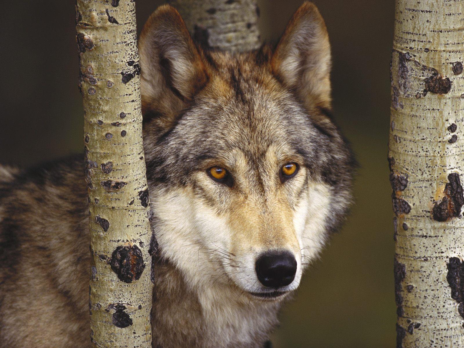 Arietta Wolf-in-forest-kewl