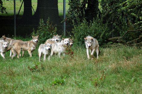 O îngrijitoare de la cel mai mare parc natural din Suedia a fost ucisă de lupi