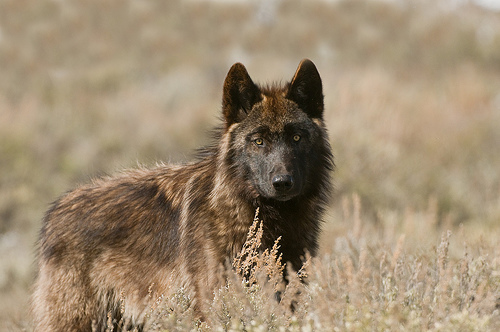 A west without wolvesthe livestock industry hamstrings wolf a west without wolvesthe livestock industry hamstrings wolf recovery sciox Images