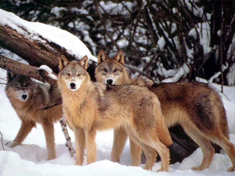 Tags wolf numbers game delisting litigation wolves in the crossfire