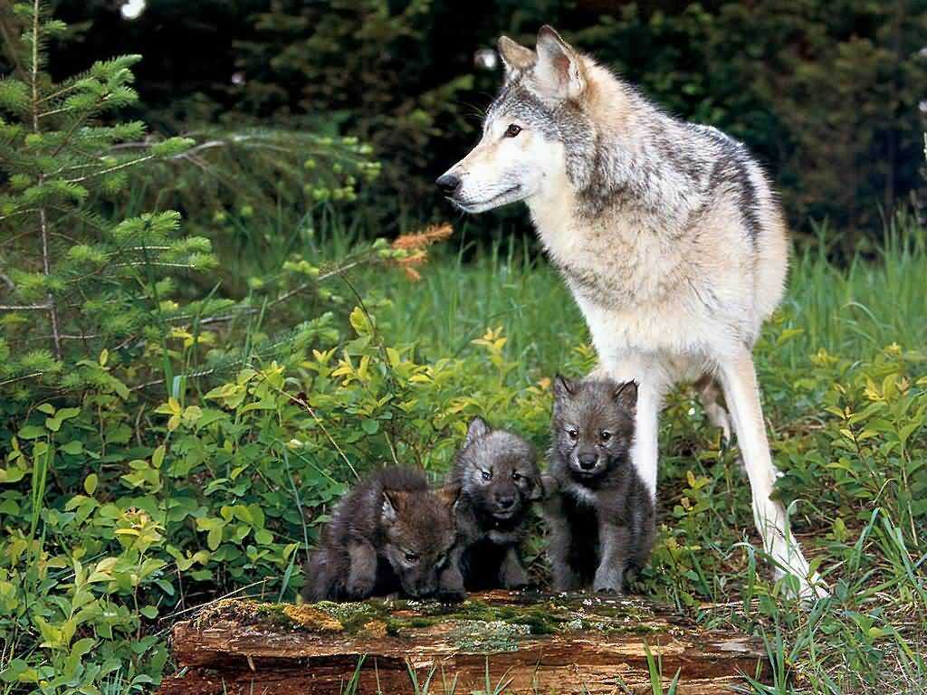 White Wolf Pup Playing Isle royale wolves cautionary