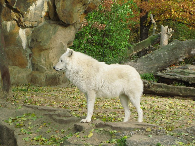The Beauty Of Canis Lupus Arctos