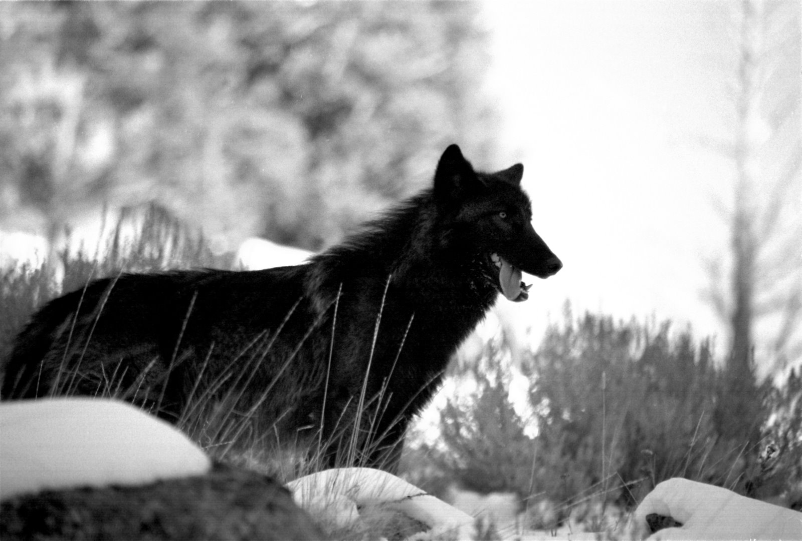 wolf in black and - photo #33