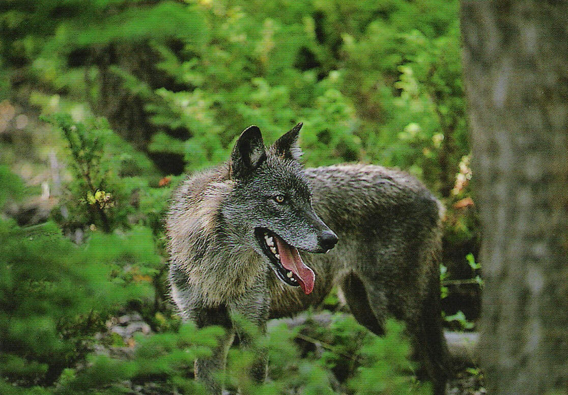 Posted in gray wolf canis lupus