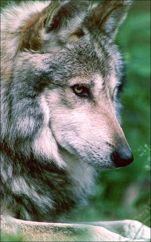 Wolves are beautiful howling for justice for Gorgeous in gray