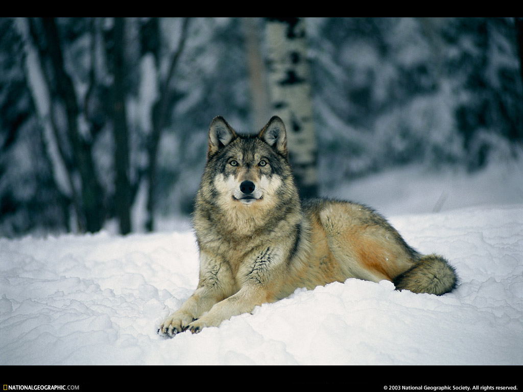 Wolves: Wolf Wars Part 2…..Wolves Under The Gun In Montana And The