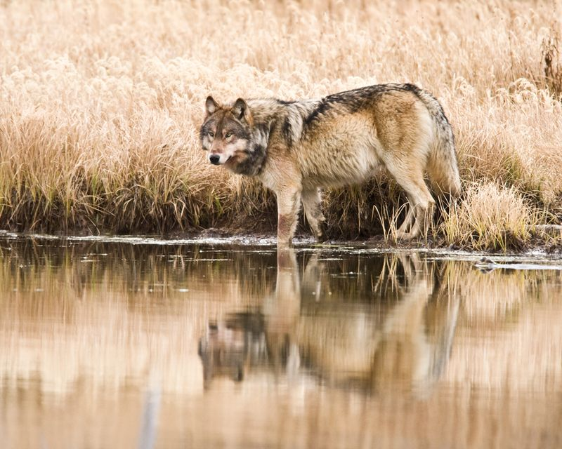 Yellowstone wolf project annual report 1998 nba