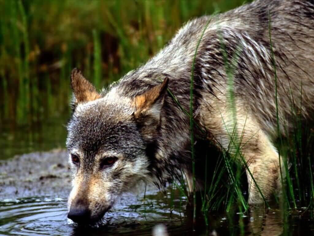 Wolf Nude Photos 69