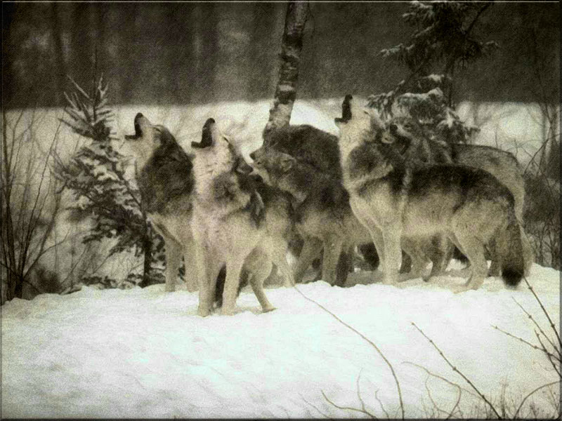Http howlingforjustice wordpress com tag aerial gunning of wolves