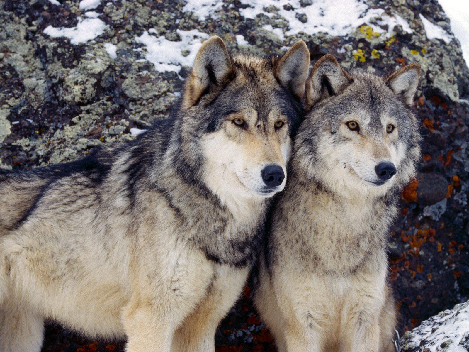 fotos de lobos en las montañas