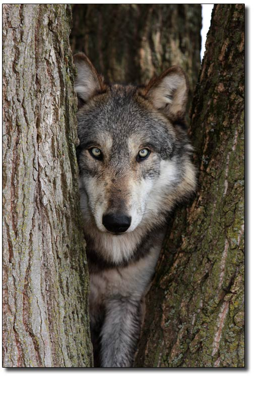Wolf Germany wolves in germany howling for justice