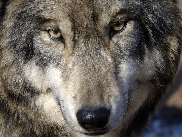 gray-wolf-closeup.jpg