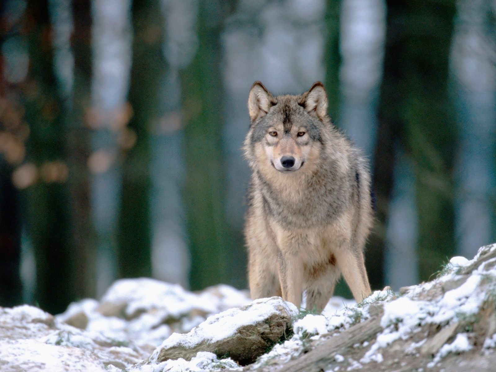 Wolves: Wolves And Trophic Cascades