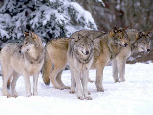 wolf-pack-2.jpg