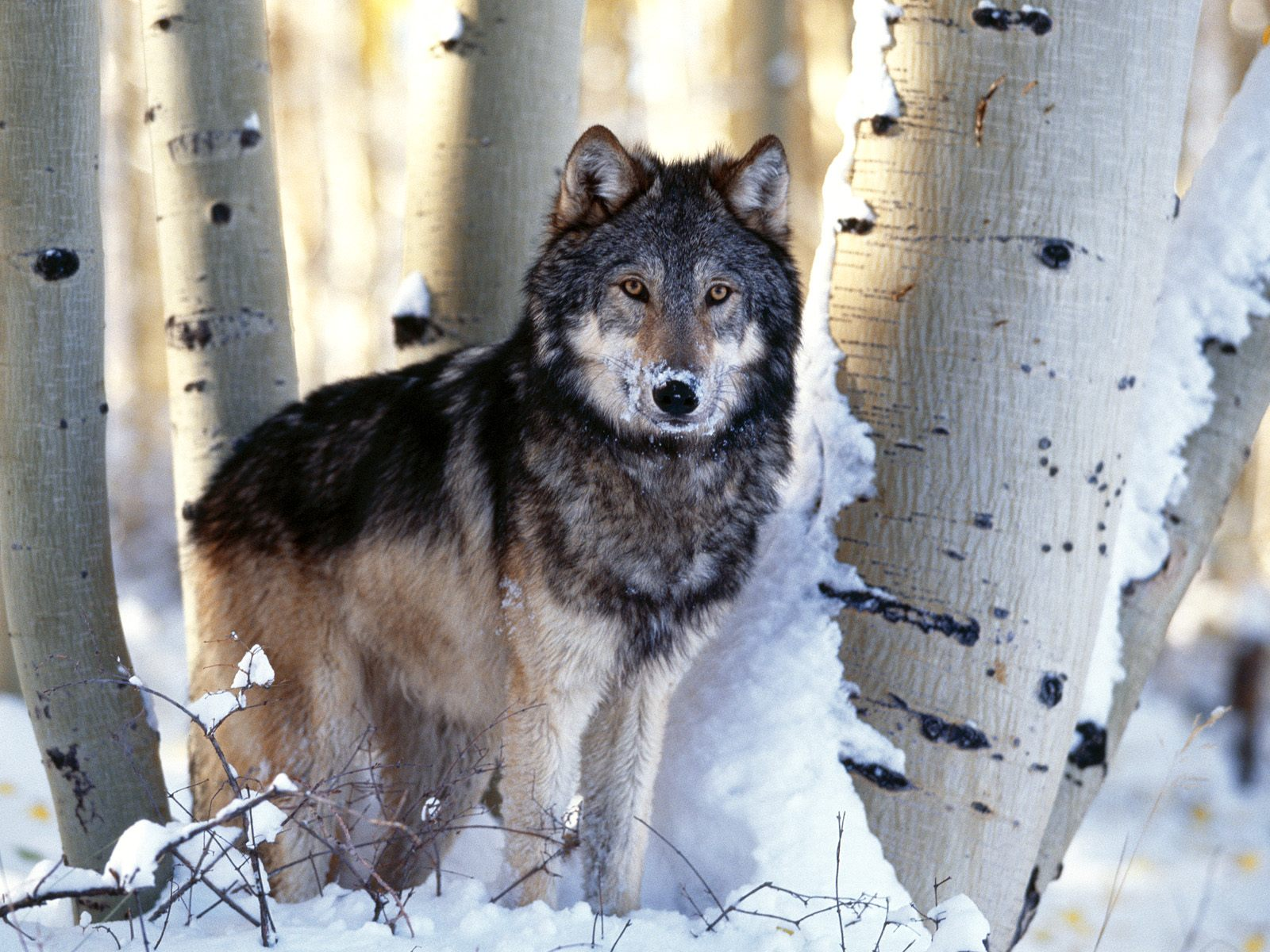 thoughts on the montana fwp wolf hunt quota hearings. Black Bedroom Furniture Sets. Home Design Ideas