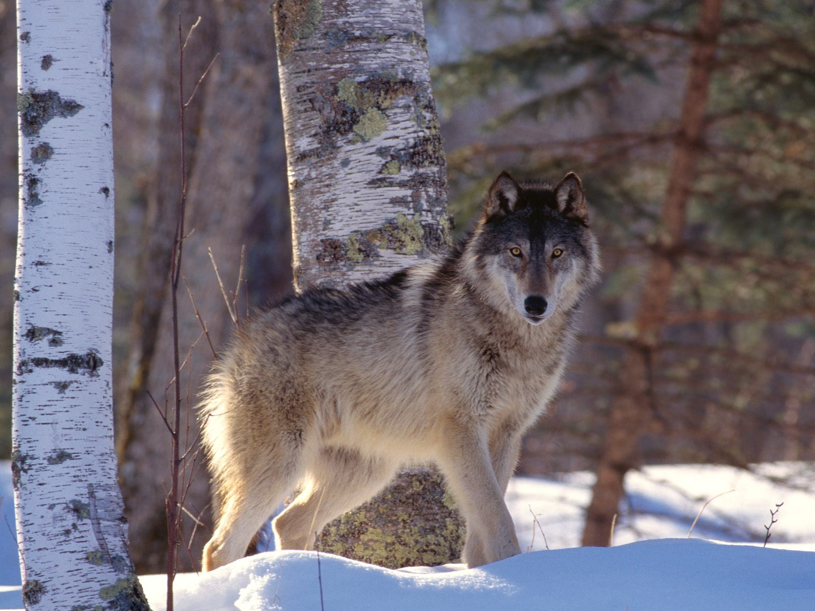 Judge Upholds Wolf Law Passed By Congress