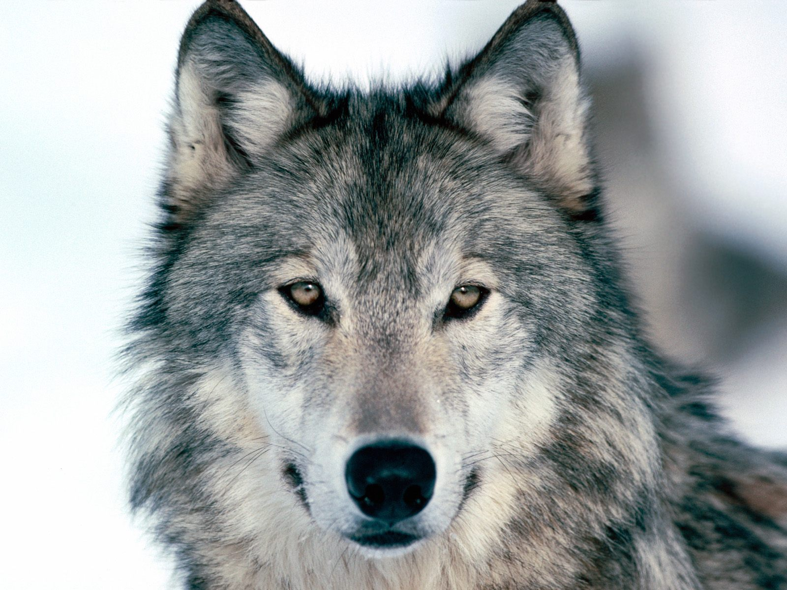 Will Hear Oral Arguments, Tuesday June 15, on Wolf Delisting Lawsuit