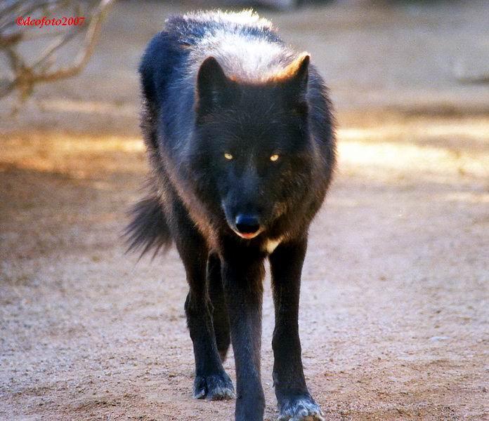 Aquí vivimos!  Black-wolf-3