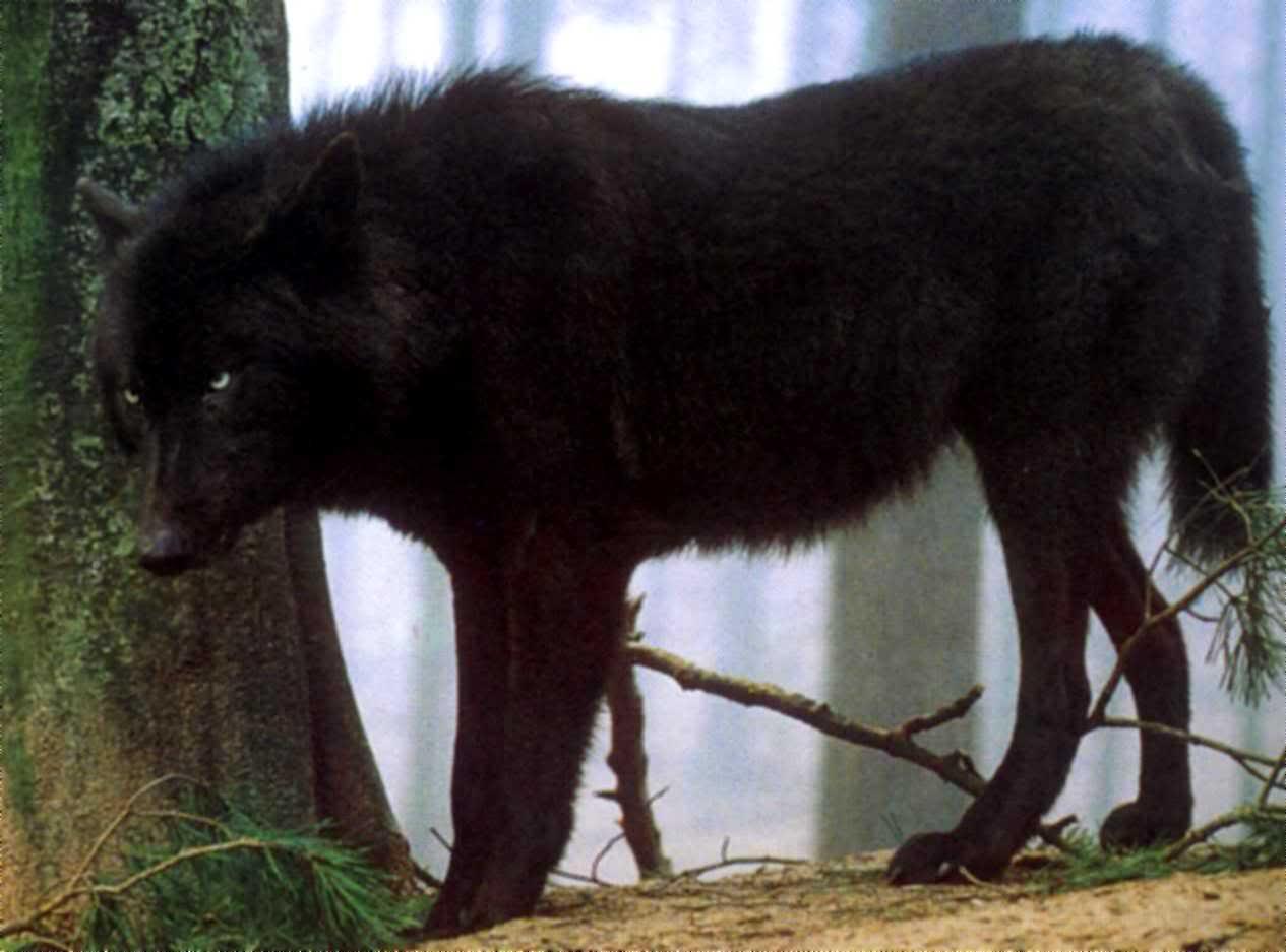 Big Back Wolf